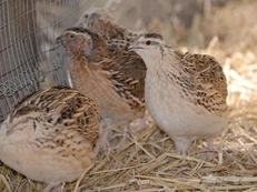 Young quail, Italian and Japanese