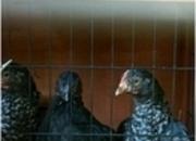 Bantam Cuckoo Marans
