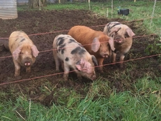 Oxford Sandy and Black x piglets for sale