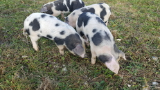 Gloucester Old Spot piglets for sale