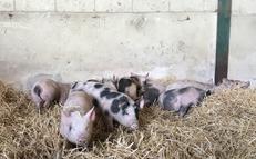 Duroc x large white weaner piglets