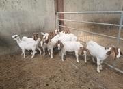 Little herd Boer females