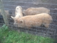 Small Kune kune Pig boar for sale Sussex
