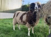 One Jacob pedigree ram lamb