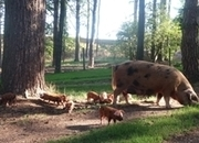 MEAT WEANERS FOR SALE