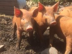 Tamworth Weaners for sale £45