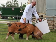 Championship Show winning Registered Oxford Sandy and Black boars For Sale