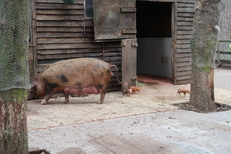 Oxford Sandy and Black Meat weaners For Sale