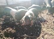 8 week old pedigree weaners
