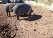 In pig sow