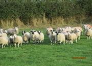 Derbyshire Gritsones ewes 9 females