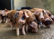 6 x Oxford Sandy and Black piglets