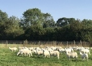 Easycare breeding ewe lambs for sale
